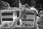 Великий предсказатель осьминог Пауль скончался