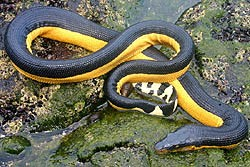 На Одесских пляжах возникли токсичные змеи